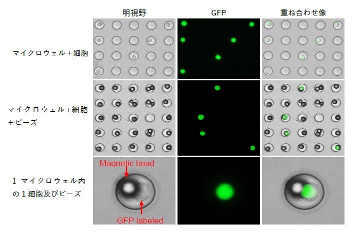 シングルセル単離 マイクロウェルプレート GFP 磁気ビーズ